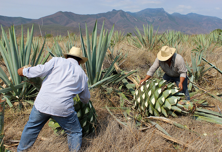 Harvest stage of Casa Cortés mezcal production process